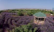cyherbia lavender cyprus