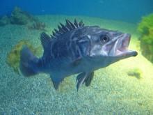 Epinephelus caninus fish