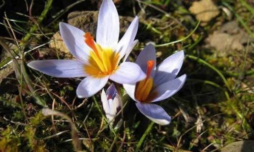 Cyprus flora