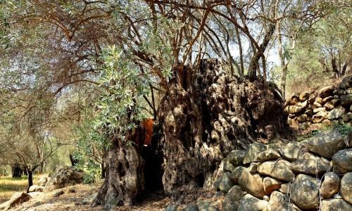 Perennial Olive Tree - Xyliatos