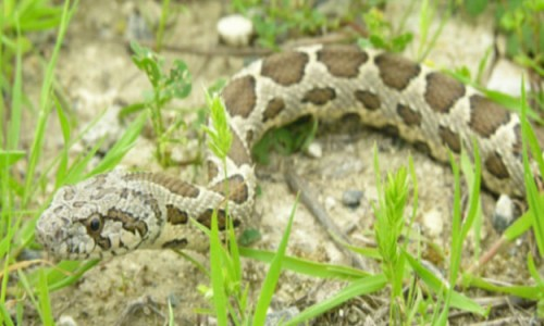 Cyprus snakes