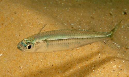 Atherinomorus Lacunosus Fish ( Hardyhead Silverside)