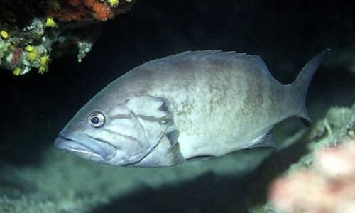 Epinephelus caninus (Dogtooth grouper)
