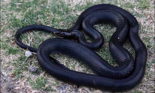 Black whip snake - Dolichophis Jugularis