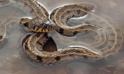 Grass snake - Natrix Natrix Cypriaca