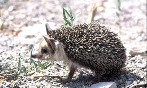The porcupine (Hemiechinus auritus dorotheae)