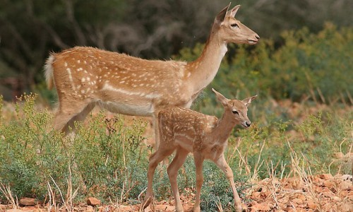 The deer (Dama dama mesopotamica)