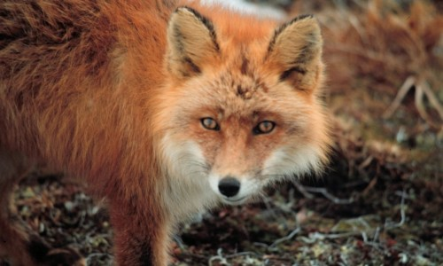 The fox (Vulpes vulpes indutus)
