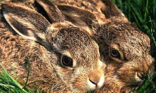 The hare (Lepus europaeus cyprius)