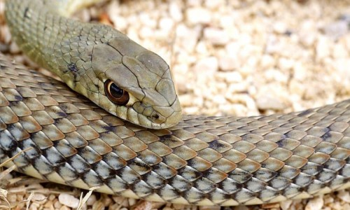 Montpellier Snake - Napoleon Monspessulanus