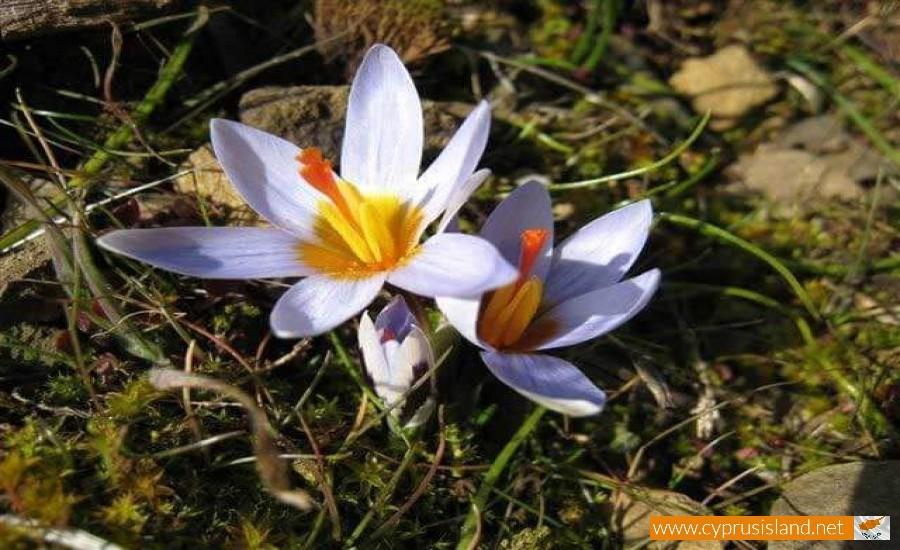 Crocus cyprius