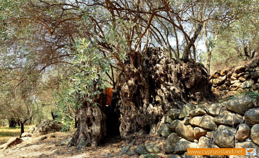 olivetree1