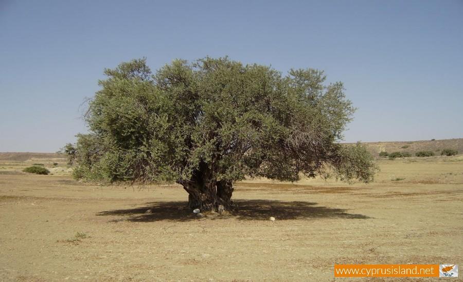 platanistasa olive tree
