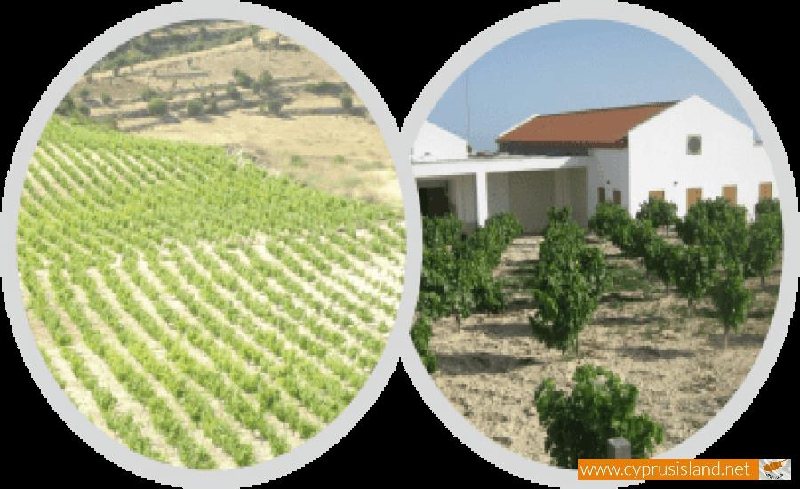 yiaskouris winery pachna