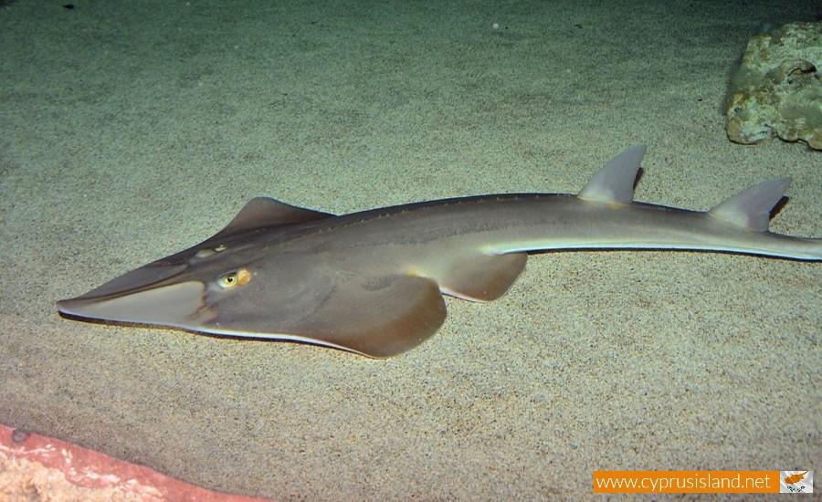 Blackchin guitarfish cyprus