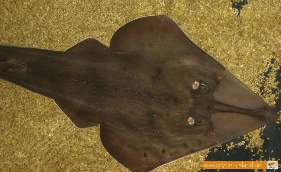 Blackchin guitarfish