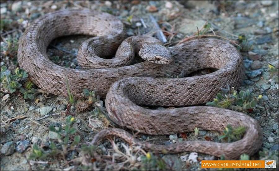 Cyprus Cat snake - Telescopus Fallax