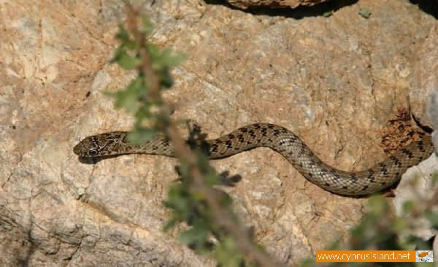 Young Black whip snake - Dolichophis Jugularis