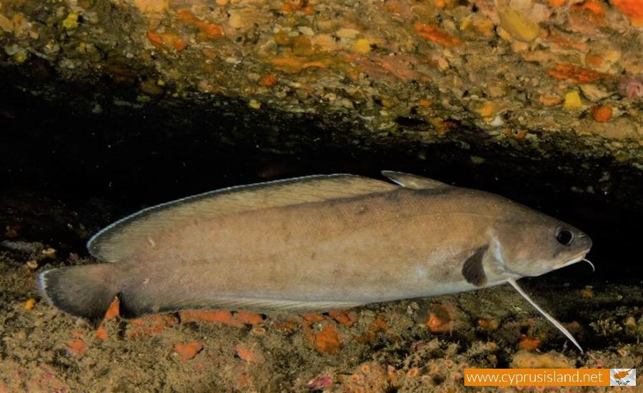 phycis phcis fish