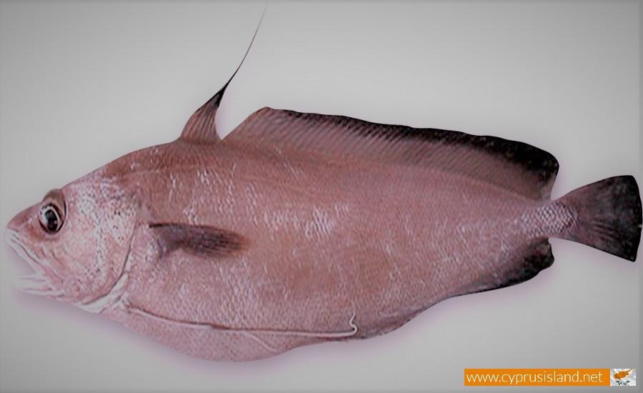 phycis phycis fish