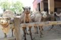 mazotos camel park cyprus