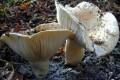 White mushroom Russula delica Fr